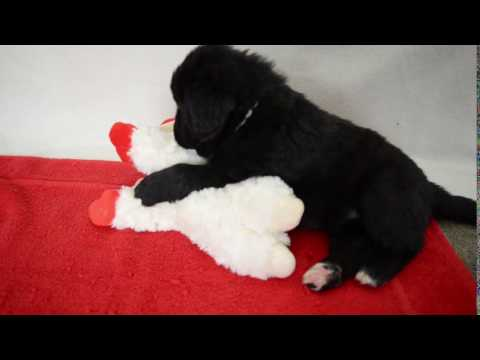 White Newfoundland Pup Located in Southern California
