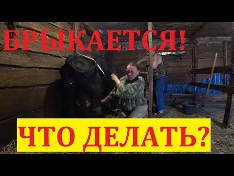 Корова брыкается / Как усмирить корову / Антибрык в деле / Как мы первотёлку доили...