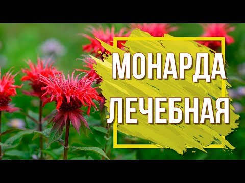 Монарда Посадка и Уход 🌸 Лечебные Растения ✔️ Садовые Цветы