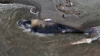 Blue Whale Carcass Washes Ashore In Marin County