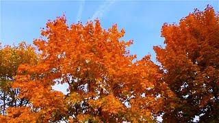 Осень. Осенние Деревья. Осенняя Листва. Красивая Осень. Осенние Краски. Футажи для видеомонтажа