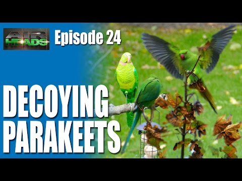 Decoying Parakeets – AirHeads, episode 24