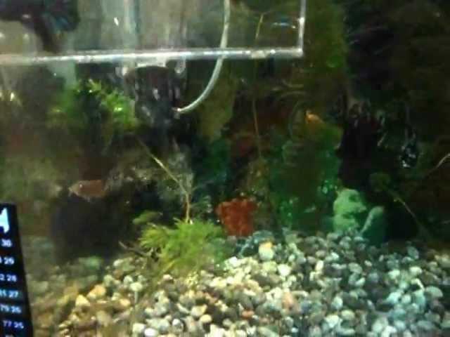 Video de acuario comunitario con escalares mollys guppis espadas coridoras bettas y caracoles