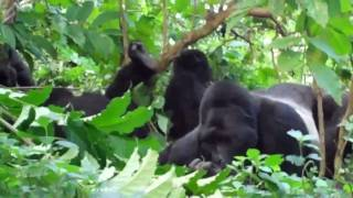 preview picture of video 'Awesome Gorilla Encounter Bwindi, Uganda May 2010'