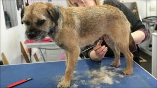HOW TO HAND-STRIP A BORDER TERRIER (PET)
