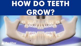 Cronología de la erupción dental - Cómo salen los dientes
