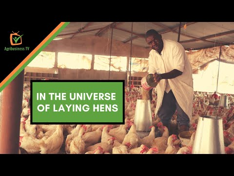 Burkina Faso: In the universe of laying hens Burkina Faso: In the universe of laying hens