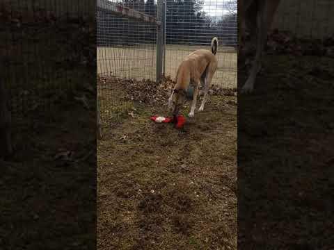 Gwen, an adopted Greyhound in Burlington, WI