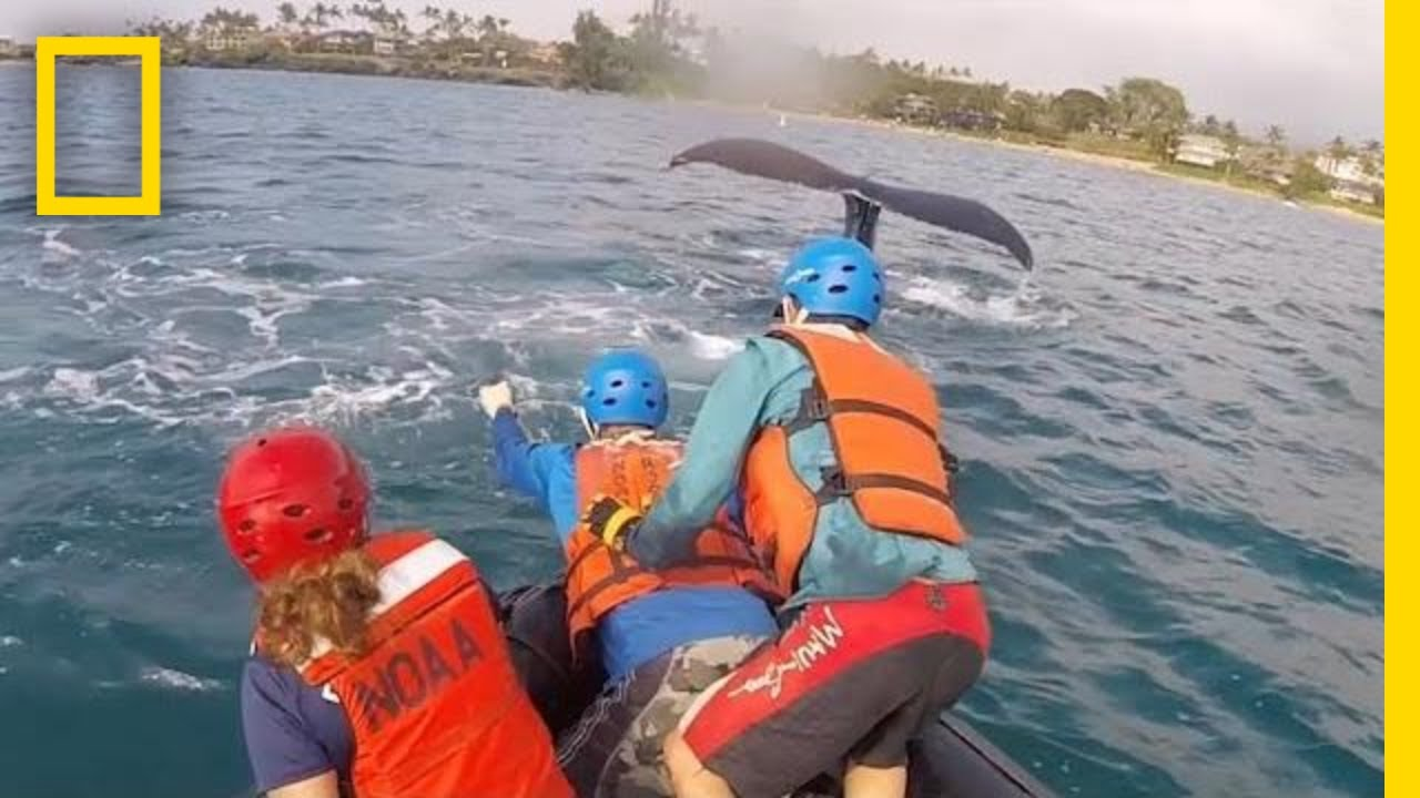 Rescuers Free Humpback Whales Caught in Fishing Lines in Hawaii | National Geographic thumbnail