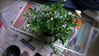 Mini Rose Care