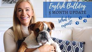 ENGLISH BULLDOG PUPPY  UPDATE | POTTY TRAINING TIPS AND TRICKS | BRITISH BULLDOG