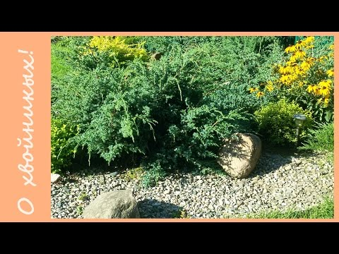 Хвойные растения в моем саду. Сорта можжевельника для небольших участков.