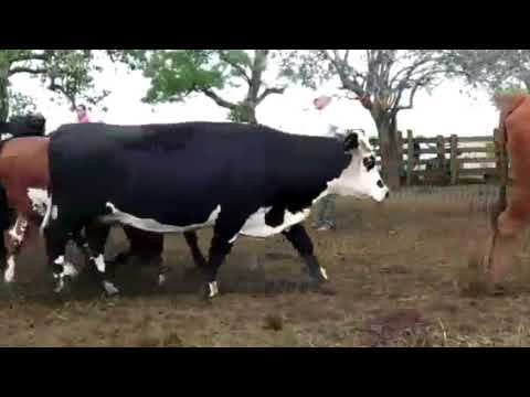 Afiche 40 Vacas preñadas  - Artigas