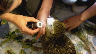 Critically endangered Kakapo being killed by fungal disease