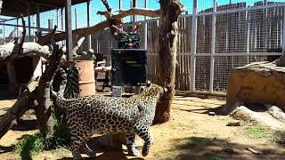 Happy 1st Birthday to our young leopards Cosmo and Cassius! | Cheetah Experience South Africa