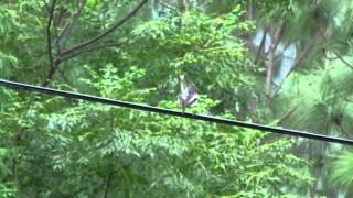 preview picture of video 'Oriental Magpie-robin (Copsychus saularis) in the College of Natural Resources, Punakha'