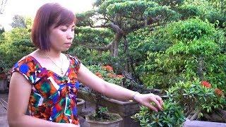 Hỏi Giá Cây Tại Vườn, Tùng La Hán đồng Giá 1 Triệu - Pine Bonsai In Dien Xa, Nam Truc, Nam Dinh