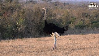Male South African Ostrich