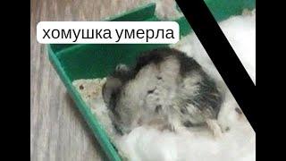 #животные ХОМЯК ПИККИ УМЕРЛА ПОСЛЕДНИЙ ДЕНЬ ХОМЯКА ДОМА ДО СЛЕЗ .ПОСЛЕДНЕЕ ВИДЕО
