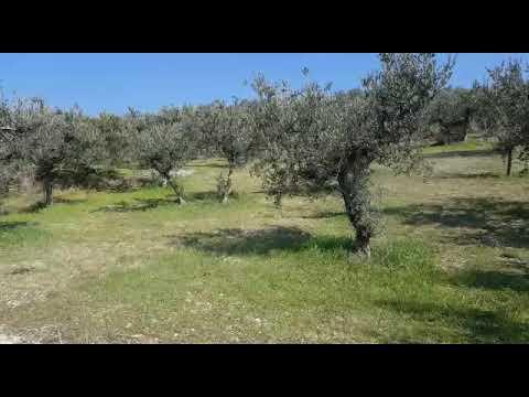 Gli olivicoltori italiani devono fare squadra