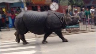 preview picture of video 'Rhino Gone Wild In Hetauda, Nepal'