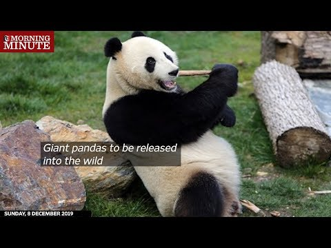 Giant pandas to be released into the wild