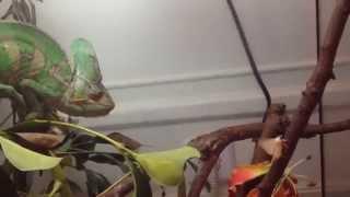 Chameleon eats Fruits and Vegetables