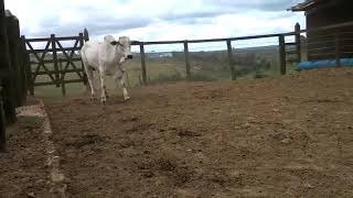 Bovino Corte Nelore Tourinho 16-20@ - e-rural Imagens