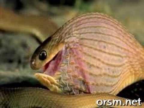 Żmija zjadająca jajo