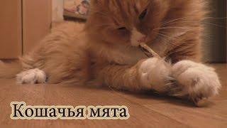 Кошачья мята. Реакция кота на палочку с кошачьей мятой. Обзор.