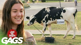 bromas engañando con la vaca