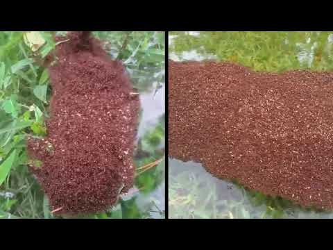 Floating mass of fire ants riding out Harvey in Texas