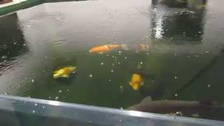 Koi treatment for Trichodina Potassium permanganate (PP) and Hydrogen Peroxide