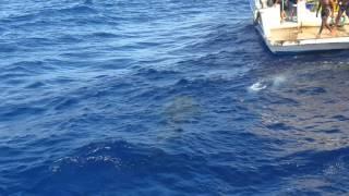 Китовая акула на красном море