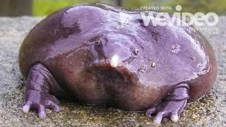 Endangered Species PSA: Purple Pig Nosed Frog