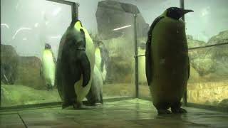 #2-6 Dec 2017 Emperor penguin at Adventure world, Japan