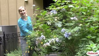 Tame Overgrown Hydrangeas With Heavy Pruning
