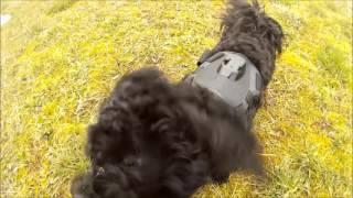 Ellynka - černý boloňský psík - black bolognese dog - crazy honey - SJ4000