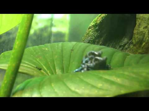 Rare Blue Poison Dart Frogs Mating