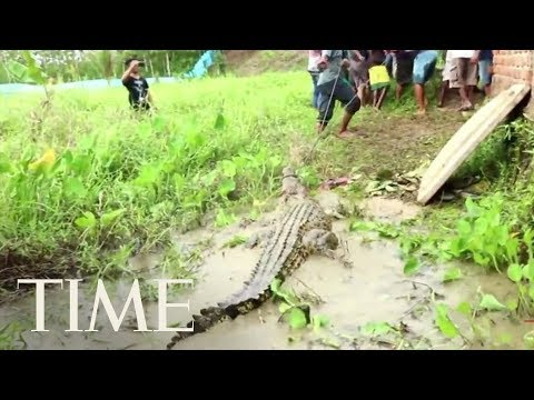 de9e6f8ff635 Hundreds Of Crocodiles Slaughtered In Retaliation For Attack On A Villager  In Indonesia