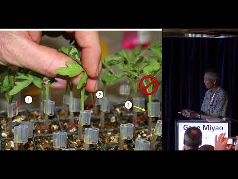 Gene Miyao - Evaluation of grafting for processing tomato production in California's Central Valley