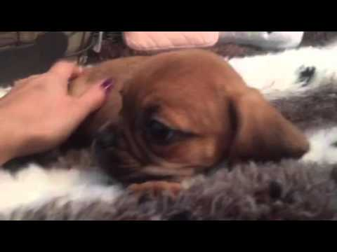 SO CUTE AND LITTLE PUGGLE FEMALE PUPPY!