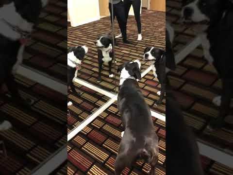 Η αντίδραση του σκυλάκου που βλέπει τον εαυτό του στον καθρέφτη…