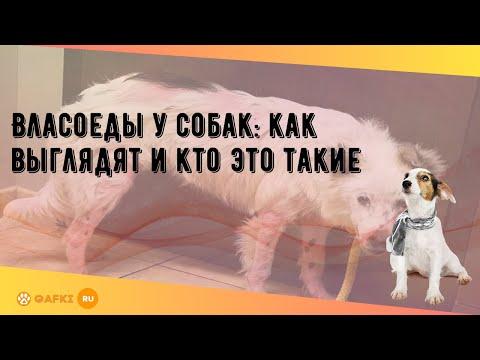 Власоеды у собак: как выглядят и кто это такие