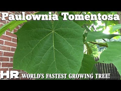 EMPRESS TREE | Paulownia Tomentosa | Fastest growing tree in the world!