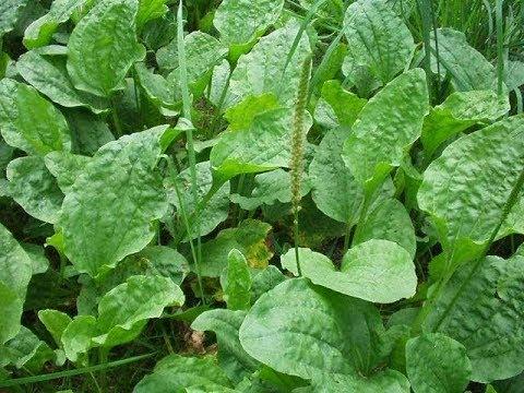 Травяной сбор для лечения простатита в аптеках