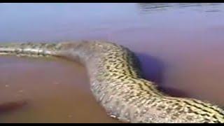 Anaconda gigante encontrada en el Amazonas