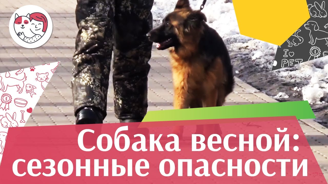Опасности для собак весной на ilikepet