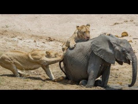 Download Lion vs Elephant Real Fight | Elephant Rescued Buffalo From