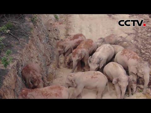 云南北移野象团去往何方:象群离开玉溪进入红河 在山脊交界活动 |《中国新闻》CCTV中文国际